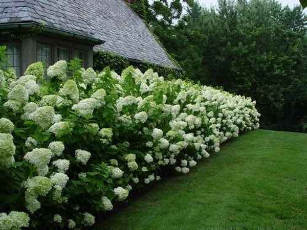 Maple Leaf Viburnum has thick green foliage in summer