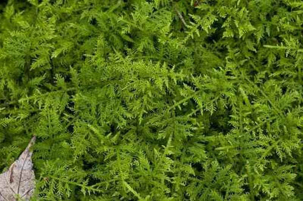 Thudium moss is beautiful added to rock gardens.