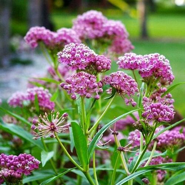 Milkweed is a tall fragrant plant that is commonly found in wetlands.