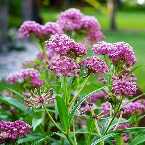 Milkweed is a beautiful flowering plant that attracts butterflies.