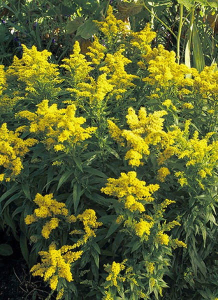 Goldenrod plants are best in hardy zones 3-9.