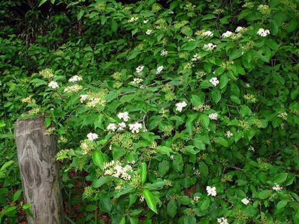 Rough leaf Dogwood Live Stake grows 15-25 feet at maturity.