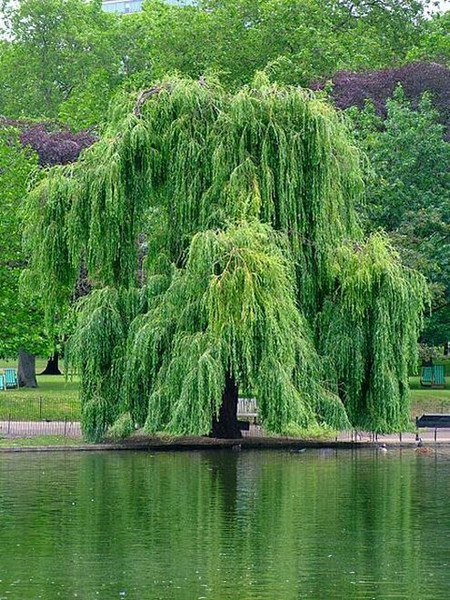 Willow trees creates an umbrella-like canopy, its limbs covered with hanging leafy branches that arch outwards distinctively from the trunk.