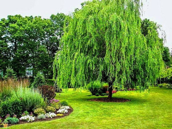 Willow trees can grow 3-4 feet a year and its leaves develop laterally along every branch with no terminal buds form.