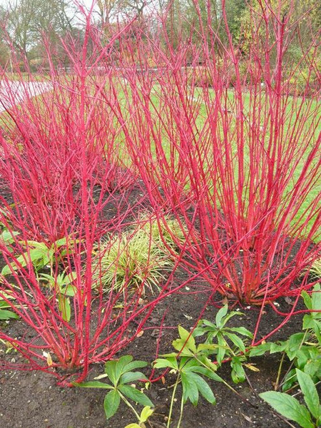 Coral red dogwood shrub branches will grow brighter in full sun.