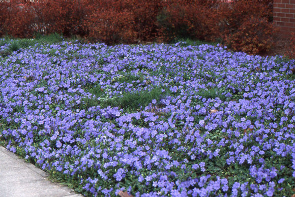 Periwinkle plant is exceptional as an erosion control specimen.