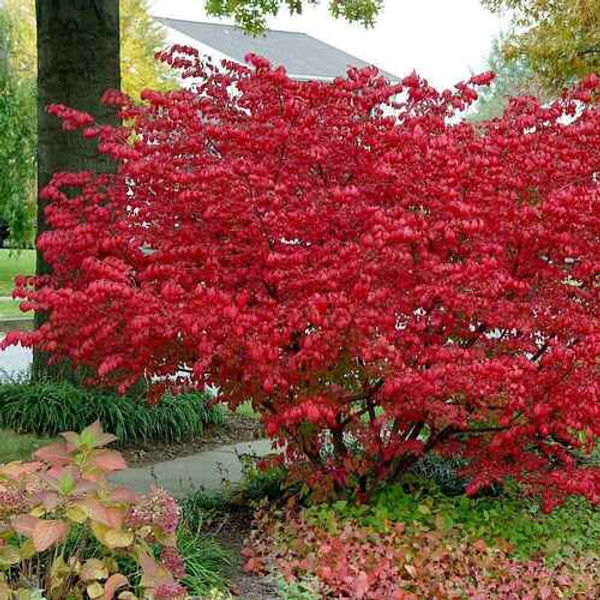 Burning brush shrubs can grow 9 to 15 feet tall and  is great as a backdrop in any landscape or border
