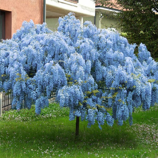Wisteria plant is a less aggressive grower than other wisterias. It can grow its flowers in about two to three years after planting, which can be slow but well worth the wait.