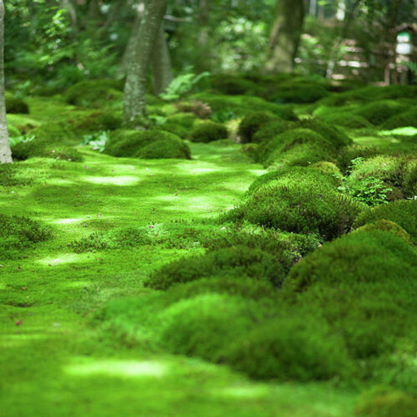 Sheet moss can survive in acidic soils in which most other plants cannot survive.