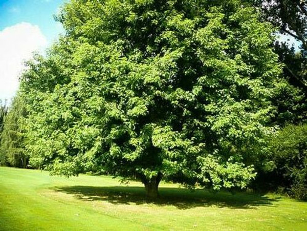 Box Elder Live Stake is great choice for landscaping your yard.