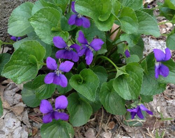 Sweet Violet Plant produces a medium-sized flower that features five petals; all pointed downward.