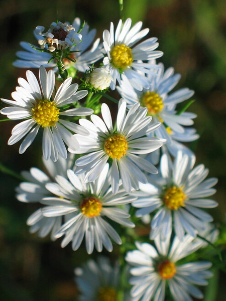 Frost Aster Symphyotrichum pilosum are commonly found in the eastern half of the United States.