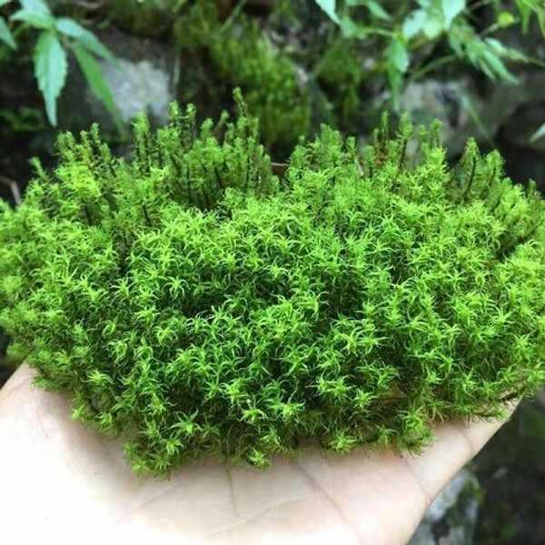 Hair Cap Moss  has a striking star-like appearance, thanks to pointed leaves that pop out at right angles all around its stiff stem.