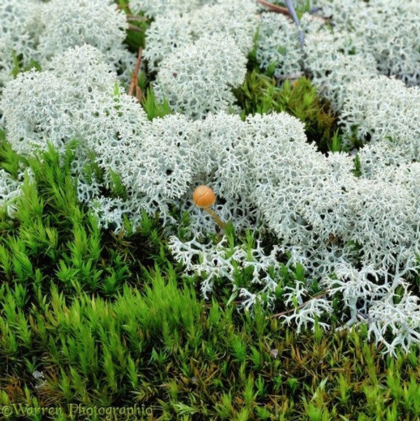 Reindeer Lichen - 1 Square Foot grows up to 10 cm in height. The growth rate is 3 to 5 mm per year.