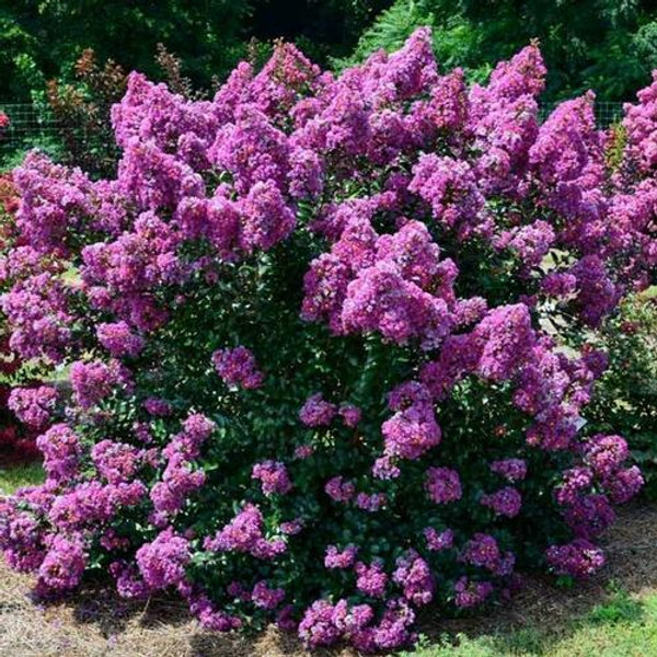 Lavender Crepe myrtle  is part of the Lagerstroemia species of woody trees and, as its name suggests, blooms lush lavender flowers