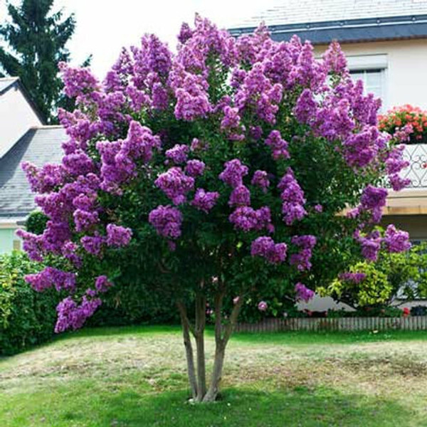 Lavender Crepe myrtle is a very fast-growing tree that may even grow from seed to bloom in a season.
