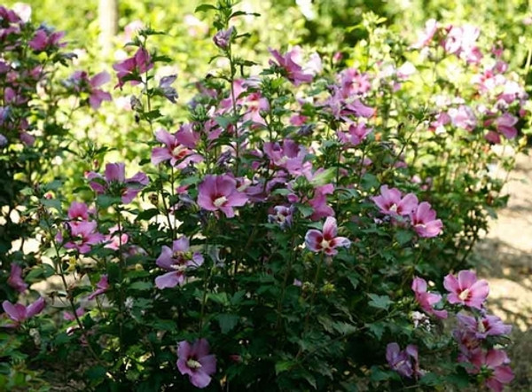 Purple Rose of Sharon - Hibiscus is a native of India and Asia and is now grown worldwide.