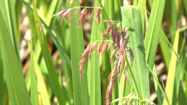 Wild Rice is an attractive plant but one that can provide many unique growth opportunities.