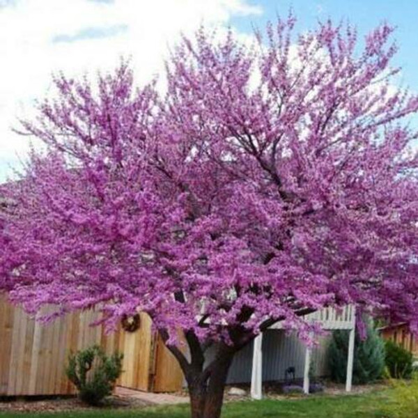 Flowering Trees - Beginner Package - 6 Trees - Chosen Perfect For Your Zone  includes 2 Redbud Trees