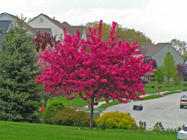 Flowering Trees - Beginner Package - 6 Trees - Chosen Perfect For Your Zone includes 2 White Flowering Dogwood Tree