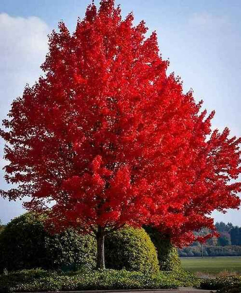 Fast Growing Trees - Beginner Package - 6 Trees-Chosen Perfect For Your Zone tend to grow between 20 to 40 feet depending on the species