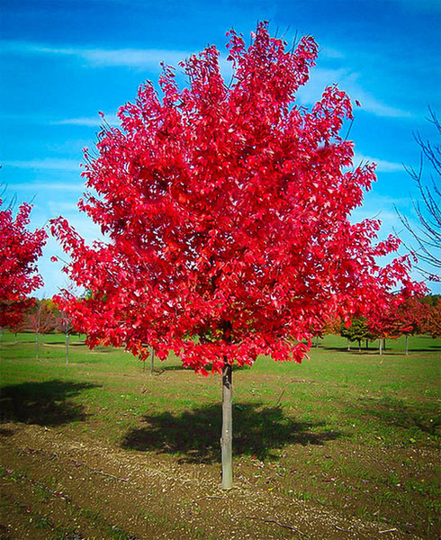 Fast Growing Trees - Beginner Package - 6 Trees-Chosen Perfect For Your Zone have thin horizontal-style branches that grow out about half their height.