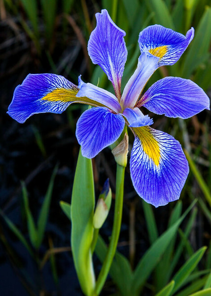 Water Garden Plants - Beginner Package - 9 Plants - Chosen Perfect For Your Zone  includes 3 Blue Flag Iris Plants