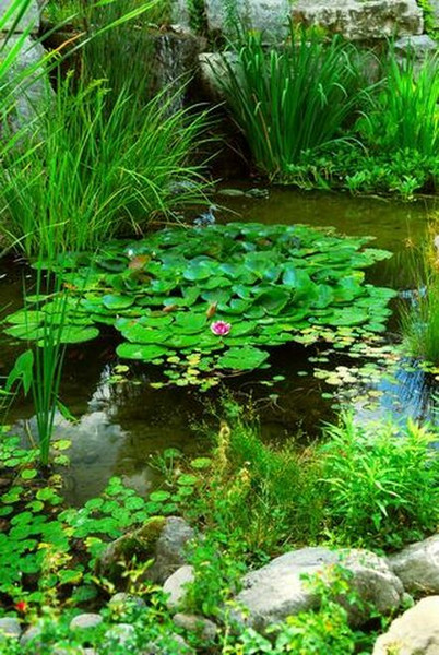 Water Garden Plants - Beginner Package - 9 Plants - Chosen Perfect For Your Zone  are annuals but grow well in water gardens as they love water.