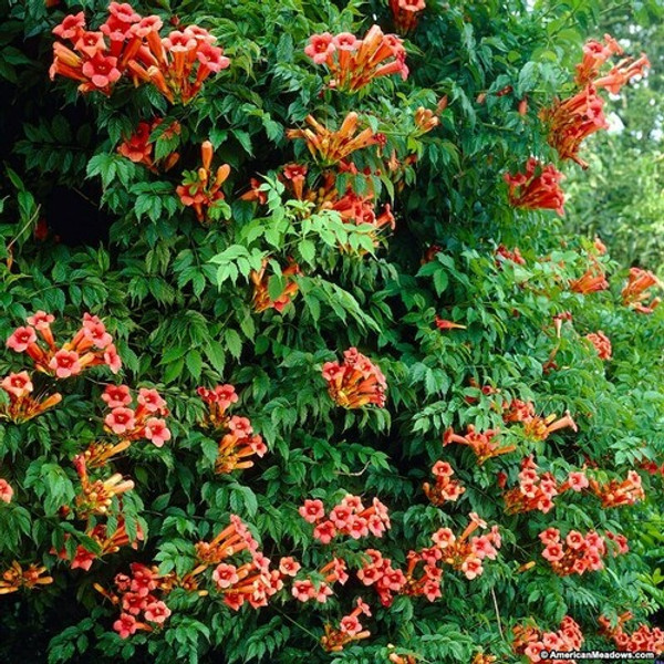 Butterfly Plants - Beginner Package - 9 Plants - Chosen Perfect For Your Zone packages includes 3 Trumpet Vines