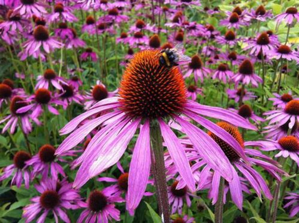 Hummingbird Plants - Beginner Package - 6 Plants - Chosen Perfect For Your Zone $2 - Plant the coneflower  as a centerpiece in your garden in order to frame the bright blooms and attract the hummingbirds.