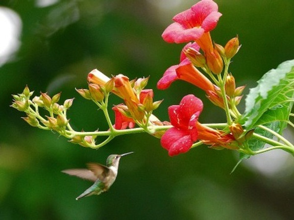 Hummingbird Plants - Beginner Package - 6 Plants - Chosen Perfect For Your Zone $2  They  flock to them because of their brightly colored and fragrant flowers