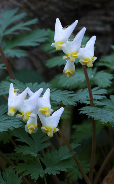 Perennial Plants - Beginner Package - 10 Plants - Chosen Perfect For Your Zone packages includes Package Includes 4 Dutchmans Breeches