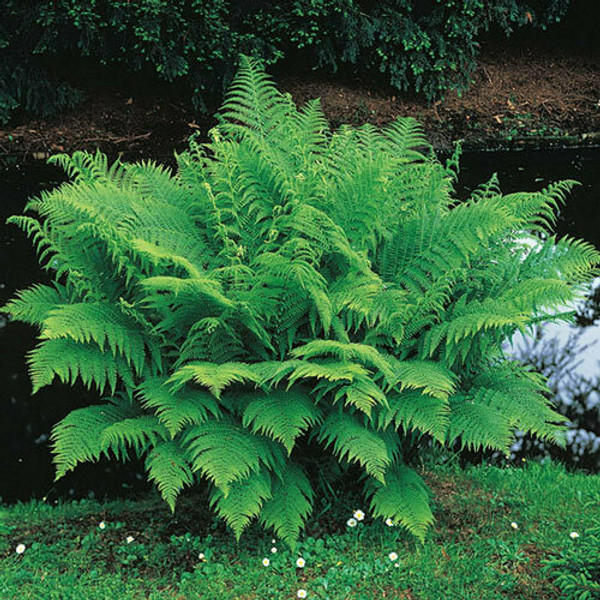 Fern Plants- Beginner Package 10 Plants - Chosen Perfect For Your Zone - 4 Lady Ferns