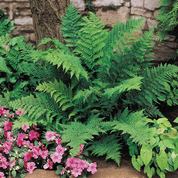 Fern Plants- Beginner Package 10 Plants - Chosen Perfect For Your Zone