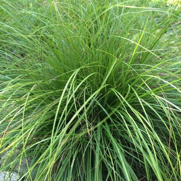Mountain Sedge is an easy-to-grow plant will fit seamlessly into flower gardens, rock gardens, and landscaping projects.