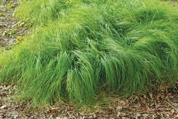 Mountain Sedge  tolerates loam, clay, sand, alkaline soil, and cold temperatures.