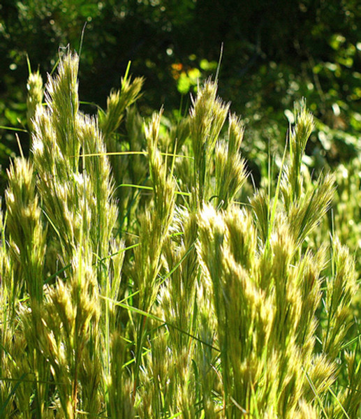 Bushy Bluestem is considered an ornamental grass that attracts birds and butterflies while providing nesting material for bees.