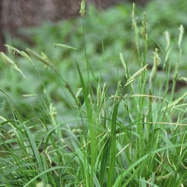 Tussock Sedge can grow in other areas with the right soil, water, and sun requirements.