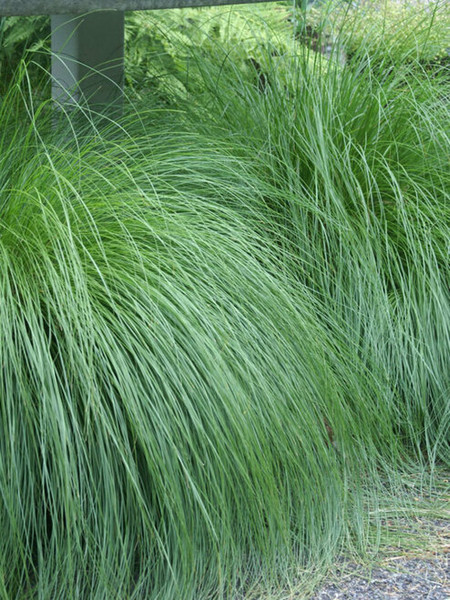 Prairie Dropseed can be seen growing in Texas and up to Saskatchewan.