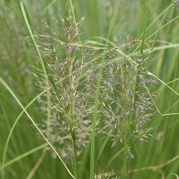 Prairie Dropseed is native to the central part of North America.