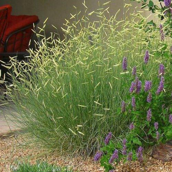 Blue Gama Grass  is an extraordinary growth that creates an attractive lawn for many homeowners.
