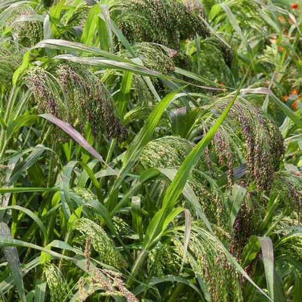 Panicgrass have silky colorful tassels from shades of green to blue and orange-red.