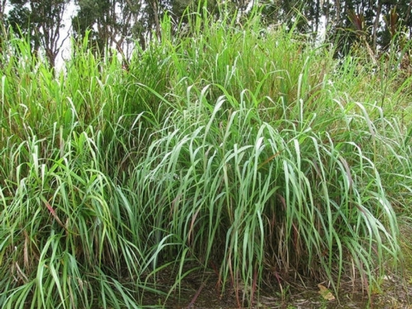 Panicgrass  is generally planted in a group with at least 12 inches between the groups to give the grass room to grow together and create a border.