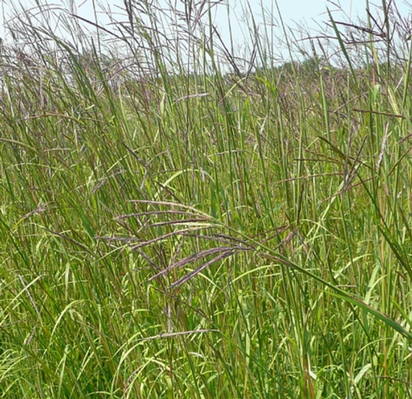 Andropogon Big Bluestem is a perennial that stands straight and tall.