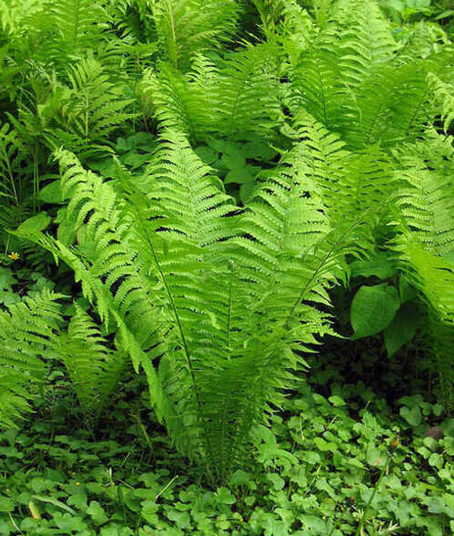 Perennials & Fern Package - Beginner Package - 50 Plants -Chosen Perfect For Your Zone (view) are Low maintenance array of plants that will attract hundreds of butterflies, monarchs, and hummingbirds to your garden