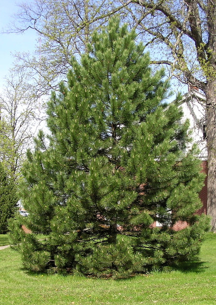 Pine Trees  is arguably the most common pine tree found throughout the southeast.