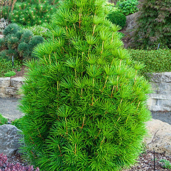 Pine Trees  grows well in USDA hardiness Zone 5.