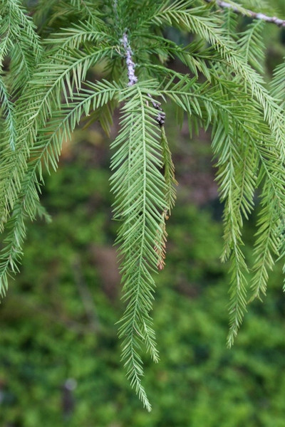 Bald Cypress Tree is marked by a tall, tapering trunk about 100 feet tall. The trunk is about three feet wide.