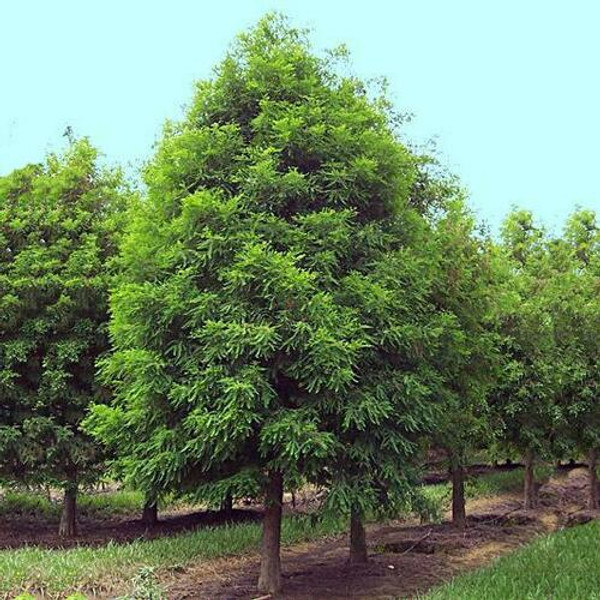 Bald Cypress Tree grows relatively slowly, so it can be a robust stabilizing presence on your property.