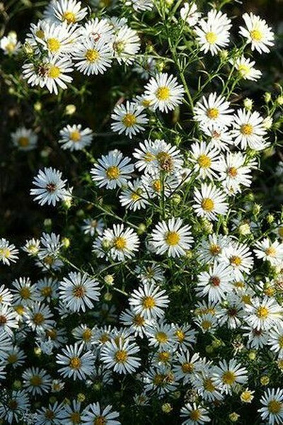 Wild Aster Plant ranks among the hardy perennials that offer home and commercial landscapes with abundant daisy-like flowers.